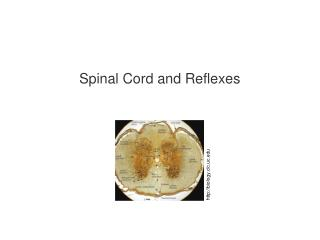 Spinal Cord and Reflexes