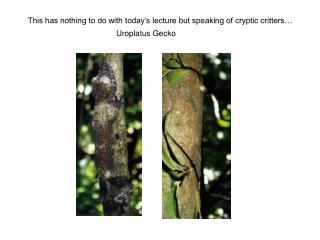 Uroplatus Gecko
