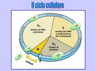 Il ciclo cellulare