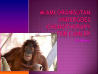Miami orangutan undergoes chemotherapy for cancer