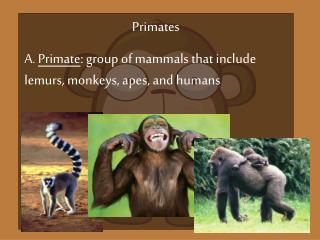 Primates A.  Primate : group of mammals that include lemurs, monkeys, apes, and humans