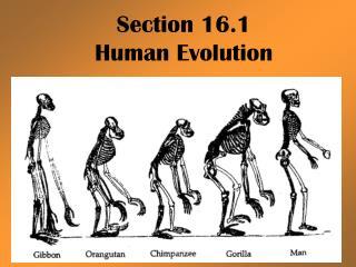 Section 16.1 Human Evolution