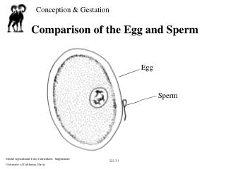 Comparison of the Egg and Sperm
