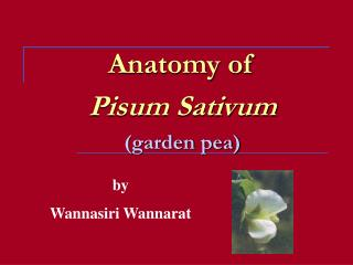 Anatomy of   Pisum Sativum  garden pea