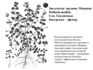 Звездчатка  средняя, Мокрица Stellaria mediaL.