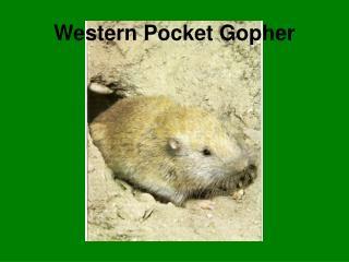 Western Pocket Gopher