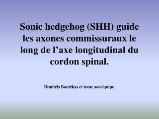 Sonic hedgehog (SHH) guide les axones commissuraux le long de l'axe longitudinal du cordon spinal.
