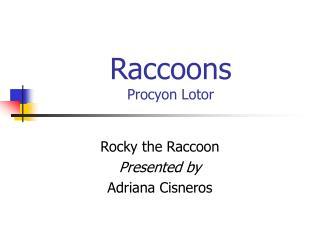 Raccoons Procyon Lotor