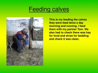 Feeding calves