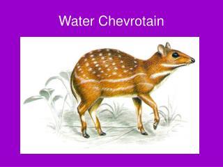 Water Chevrotain