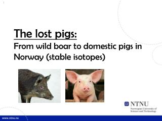The lost pigs: From wild boar to domestic pigs in Norway (stable isotopes)