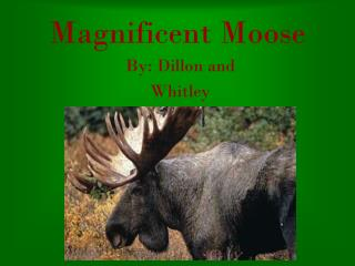 Magnificent Moose