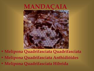 Melípona Quadrifasciata Quadrifasciata Melípona Quadrifasciata Anthidióides