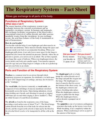 The Respiratory System – Fact Sheet