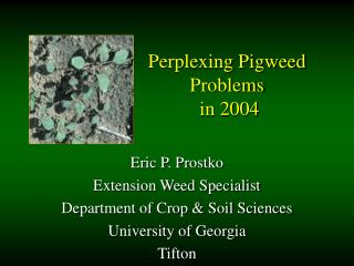 Perplexing Pigweed Problems  in 2004
