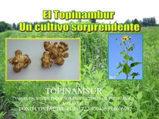 El Topinambur  Un cultivo sorprendente