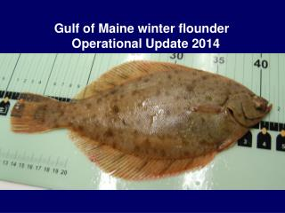 Gulf of Maine winter flounder      Operational Update 2014