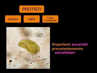 Organismi  eucarioti  prevalentemente  unicellulari