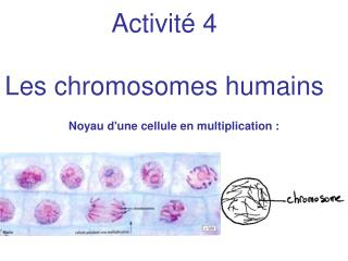 Activité 4 Les chromosomes humains
