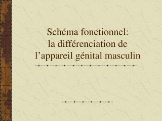 Schéma fonctionnel: la différenciation de l'appareil génital masculin