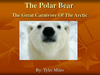 The Polar Bear  The Great Carnivore Of The Arctic