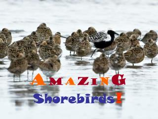 A m a z i n g Shorebirds !