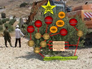 X-Mass Olive Tree  Under Israeli  Occupation
