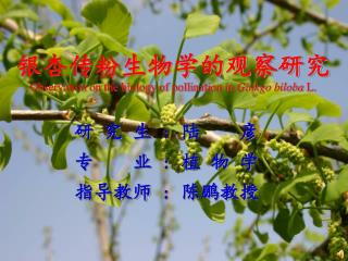 ???????????? Observation on the biology of pollination in  Ginkgo biloba  L.