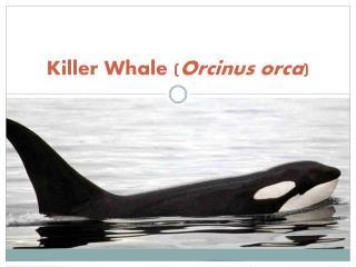 Killer Whale ( Orcinus orca )