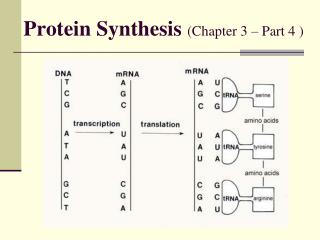 Protein Synthesis  (Chapter 3 – Part 4 )