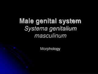 Male genital system Systema genitalium masculinum Morphology
