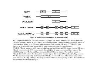 Figure. 1. Schematic representation of virus constructs.