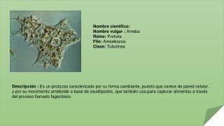 Nombre  científico: Nombre vulgar :  Ameba Reino:  Protista Filo : Amoebozoa Clase:  Tubulinea