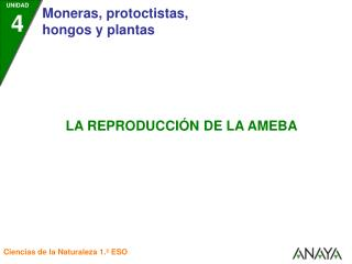 3. Se forman dos amebas hija.