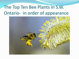 The Top Ten Bee Plants in S.W. Ontario-  in order of appearance