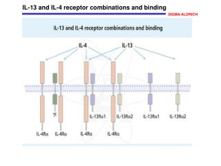 IL-13 and IL-4 receptor combinations and binding