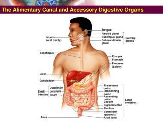 The Alimentary Canal and Accessory Digestive Organs