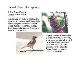 Chincol ( Zonotrichia capensis) Orden : Passeriformes Familia : Emberizidae