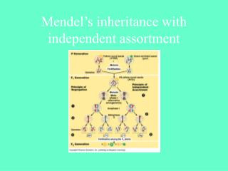 Mendel's inheritance with independent assortment