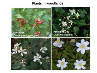 Plants in woodlands
