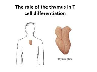 The role of the thymus in T cell differentiation