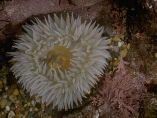 Giant Green Anemone Anthopleura xanthogrammica