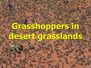 Grasshoppers in desert grasslands