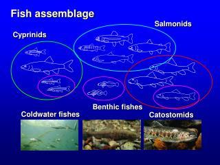 Fish assemblage