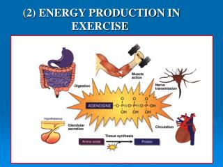 (2) ENERGY PRODUCTION IN EXERCISE  KUORMITUKSESSA