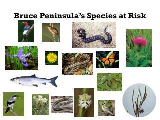 Bruce Peninsula's Species at Risk