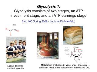 Bioc 460 Spring 2008 - Lecture 25 (Miesfeld)