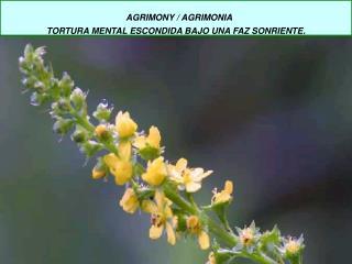 AGRIMONY / AGRIMONIA  TORTURA MENTAL ESCONDIDA BAJO UNA FAZ SONRIENTE.