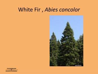 White Fir ,  Abies concolor