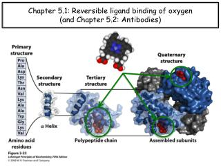 Chapter 5.1: Reversible ligand binding of oxygen (and Chapter 5.2: Antibodies)